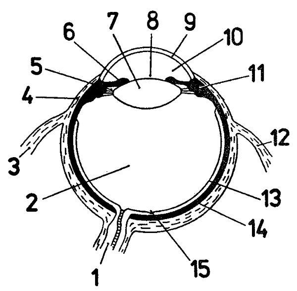 Obr. 1: Řez okem ve vodorovné rovině: 1 - zradový nerv, 2 - sklivec, 3 - vnitřní přímý sval, 4 - bílek, 5 - zadní komora, 6 - duhovka, 7 - čočka, 8 - zornice, 9 - rohovka, 10 - přední komora, 11 - řasnaté těleso, 12 - boční přímý sval, 13 - sítnice, 14 - cévnatka, 15 - žlutá skvrna.