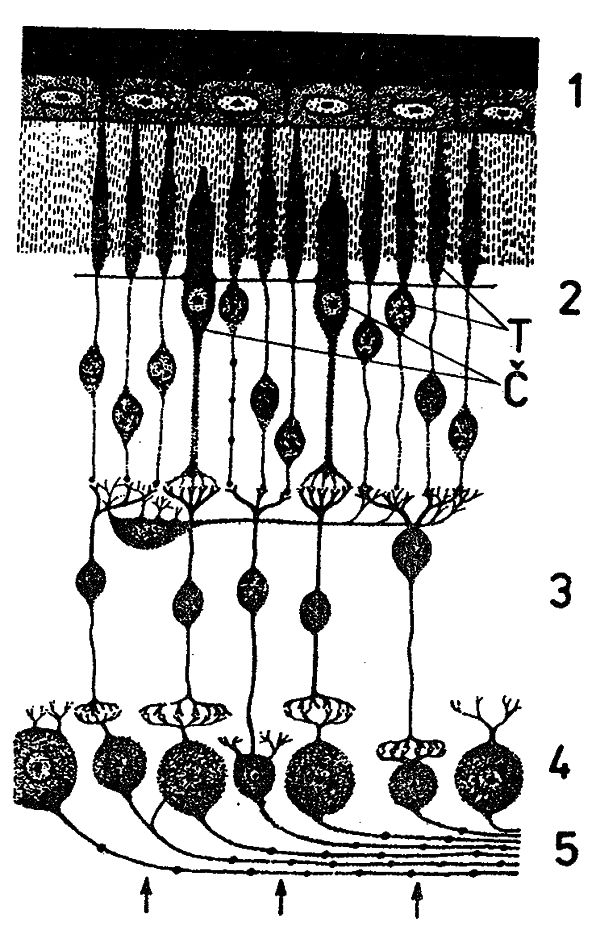 Obr. 3: Průřez sítnicí: 1 - pigmentová vrstva, 2 - oblast pravého neuronu se smyslovými buňkami (T - tyčinky, Č - čípky), 3 - oblast druhého neuronu (sítnicový ganglion), 4 - oblast třetího neuronu (zrakový ganglion), 5 - neurity vedoucí do mozku.